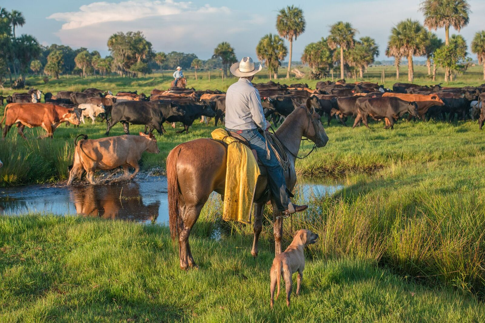 A cowboy herds cattle on an improved pasture