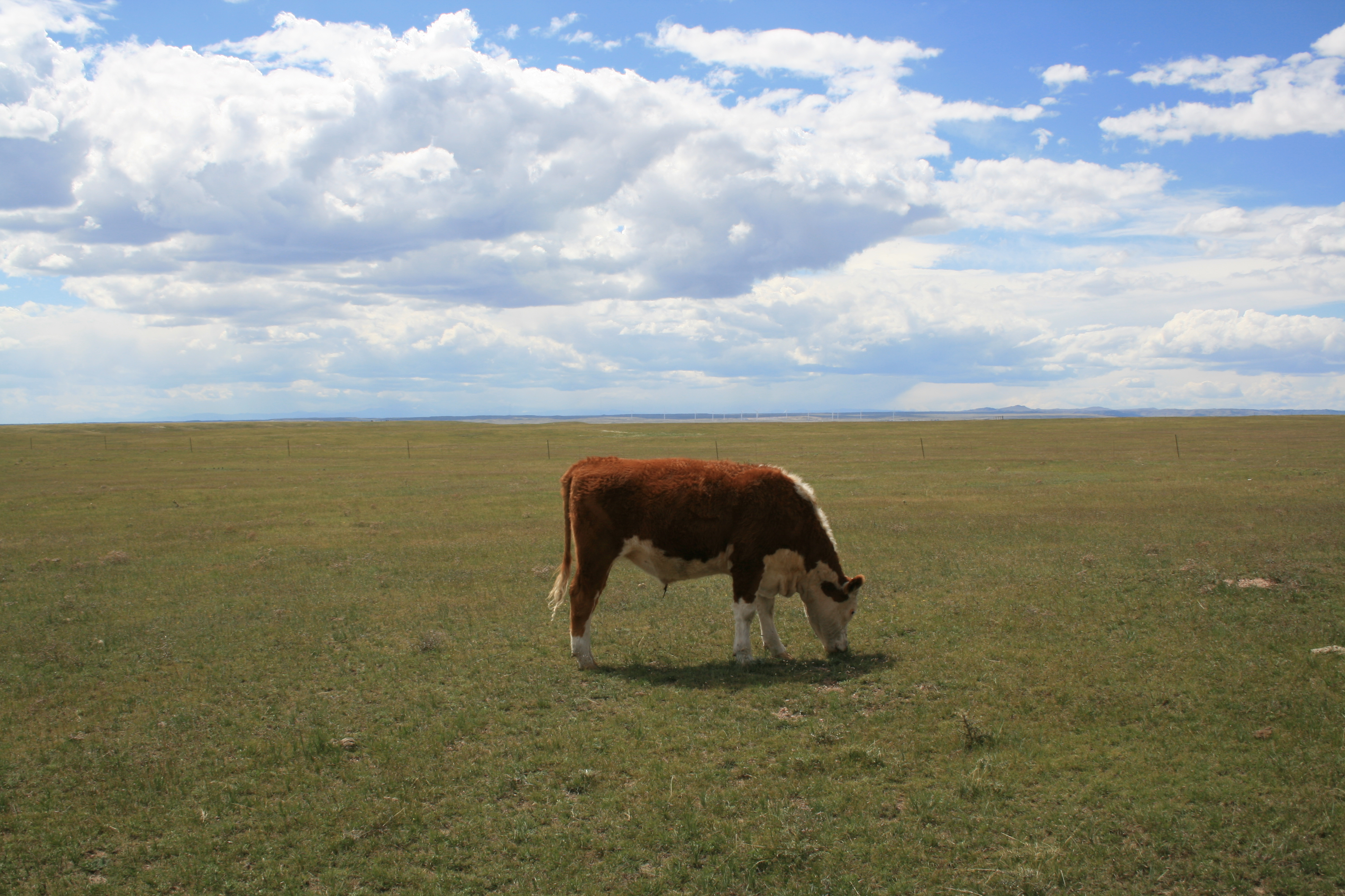 Cow_grazing_shortgrass